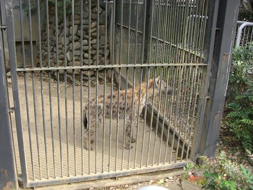 ブチハイエナ/Spotted Hyena