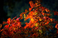 Yosemite Maple (gcquinn) Tags: red mountain tree fall yellow maple geoff sierra yosemite quinn geoffrey