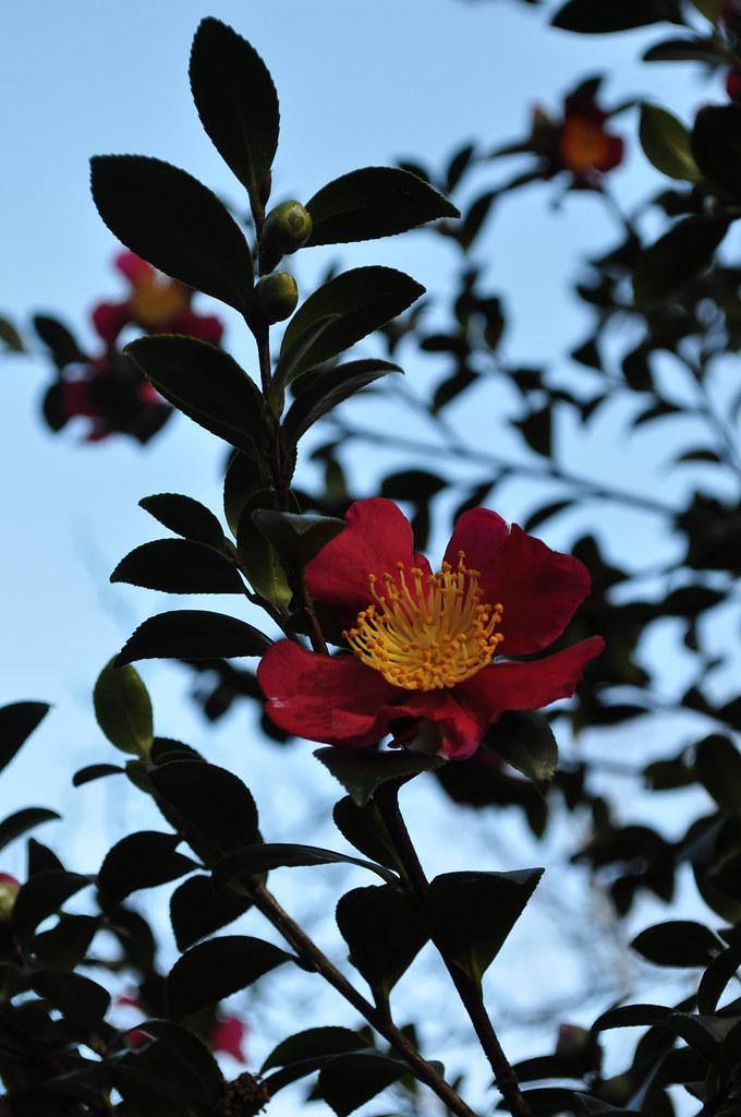Camellia sasanqua 'Yuletide' 1