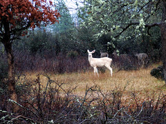 White Deer (3) (Beyond the Trail [Gary]) Tags: california white color rain dance deer variant columbian blacktail deerskin trinitycounty yurok