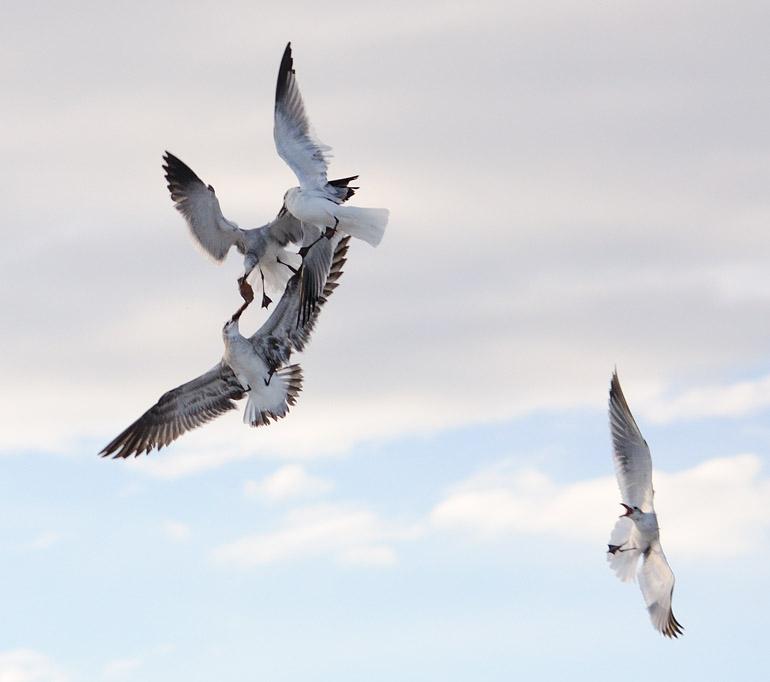 gulls_0173