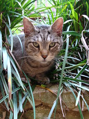 Avi stare (Shadespring) Tags: white cute green grass leaves cat silver fur outside leaf paw tabby tail kitty domestic whisker cuddle patches monkeygrass