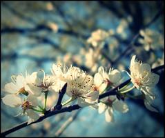 DSCN0284a_cross (MJ Nolte) Tags: plumblossoms flowerstreesbushesmacro mjnolte wwwmjnoltephotographyzenfoliocom