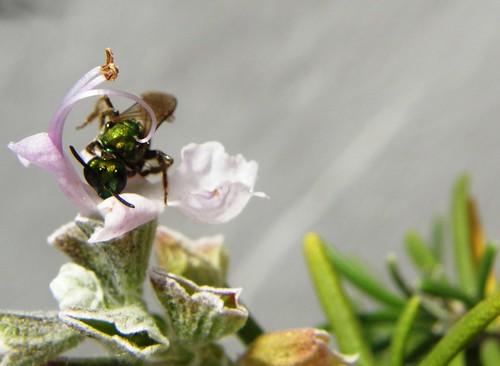 avispita verde en flor de romero
