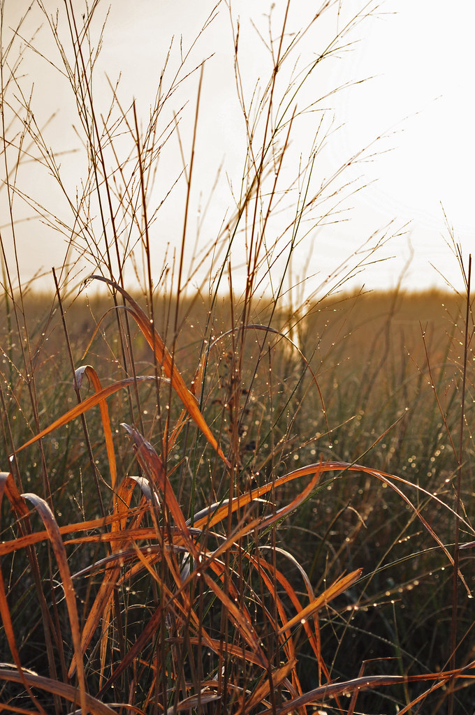 Spartina Sunrise 7
