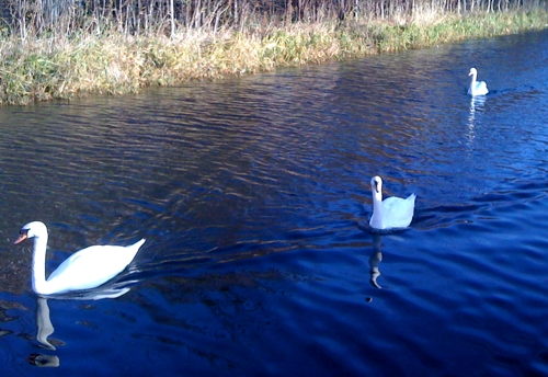 Swans on the canal, Solstice 2009