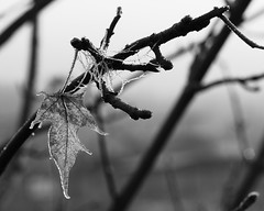 stitched in (lydiafairy) Tags: winter sleeping blackandwhite bw plant cold tree ice nature leaves dead 50mm leaf nikon frost bokeh web frosty sleepy photowalk tied icy spidersweb stitched sewn d80 sooc