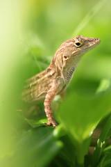 Lizards Don't Really Care... (laszlo-photo) Tags: brown macro green hawaii oahu lizard northshore anole sigma105 brownanole anolissagrei hauulaahupuaa