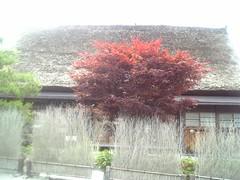 DVC00171 (Tamago Moffle) Tags: world plants heritage japan site village   shirakawago shirakawa         gifupref shirakawamura  onodistrict