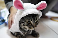 小綿羊 咩咩咩~~~ (命は美しい) Tags: cat 貓