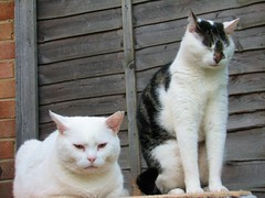 Fatty & Skinny (Obi Wan Kennedy) Tags: white cat skinny funny tabby fatty snowball catloaf tong ting catnipaddicts
