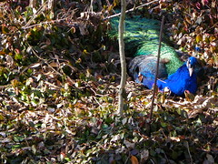 Dickerson Park Zoo - Springfield, MO (Adventurer Dustin Holmes) Tags: bird birds animal animals zoo peacock peafowl zoos peacocks pavo dickersonparkzoo bluepeacock indianbluepeacock phasiandae indianbluepeacocks springfieldmissourizoo bluepeacocks