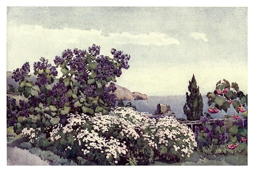 006-Wigandias y margaritas en Madeira-The flowers and gardens of Madeira - Du Cane Florence 1909