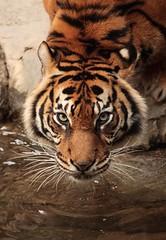 piercing eyes (felt_tip_felon) Tags: animals spain feline wildlife tiger whiskers espana bigcat predator captivity fuengirolazoo