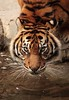 piercing eyes (felt_tip_felon®) Tags: animals spain feline wildlife tiger whiskers espana bigcat predator captivity fuengirolazoo