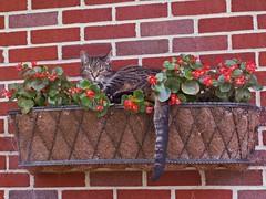 Cat in Flower Box