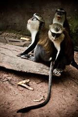 (same_photography) Tags: travel portrait people blackandwhite bw nature canon photography monkey photo dance village image culture lifestyle tribal ancestor ghana jungle abroad westafrica editorial ritual goldcoast palmwine tafiatome obruni bebini sameubank liatiwote palmgin