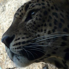 Panther or leopard / Pantera o leopardo / Pantera ou leopardo (jovidoes) Tags: life naturaleza art nature animal fauna america mammal photo interesting asia flickr gallery foto photographer arte natural photos top free explore vida felino fiero animales jaguar mammals flu libre photostream belleza pantera visin percepcion finearts equilibrio armona mamiferos mamfero mamferos mamifero manchas pardus yaguar guaran sellection carnvoro expolore atacante onapintada mywinners gil panterapardus thesuperbmasterpiece jovidoes altonilo joaquinvicente joaqunvicenteesp joaquinvicenteespilluch joaquinespi joaquinespilluch