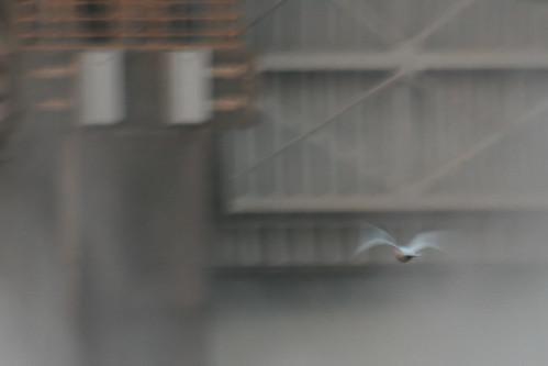 Ivory Gull (29)