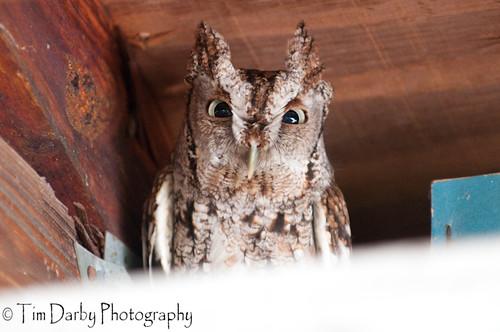 Eastern Screech Owl-26
