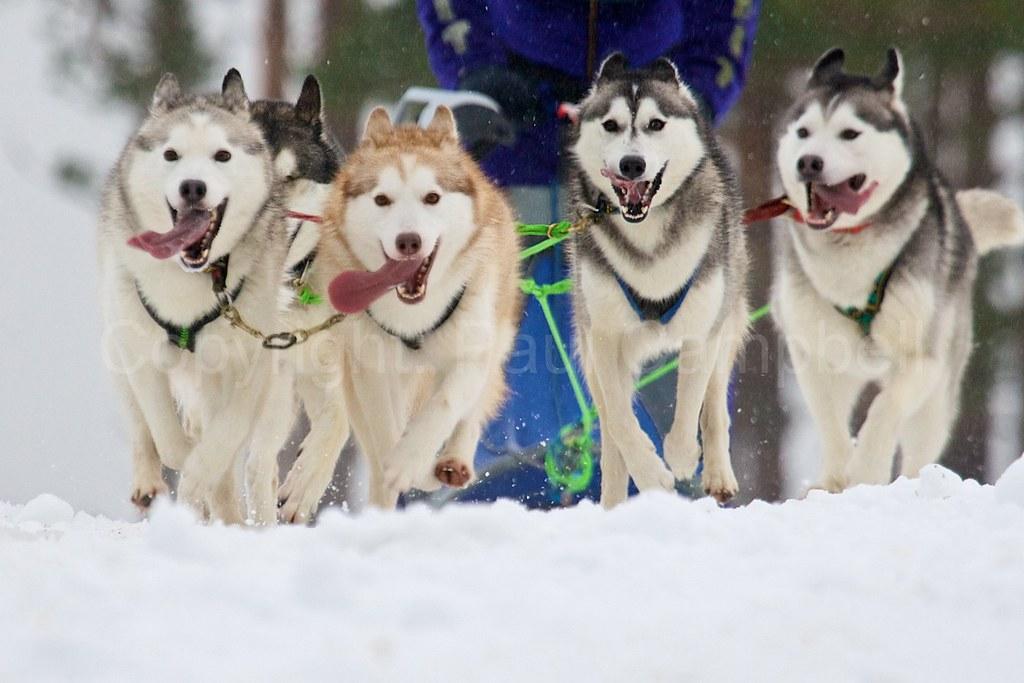 Huskies 5