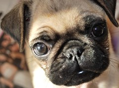 Sus ojos en la sociales (Ulises Gutirrez) Tags: sonora mxico pug perro hermosillo mascota