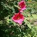 rosa-moyesii_muskaatroos