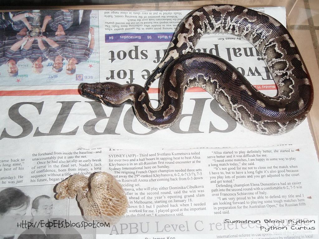 2010-02-15 02 Sumatran Blood Python (Curtus)