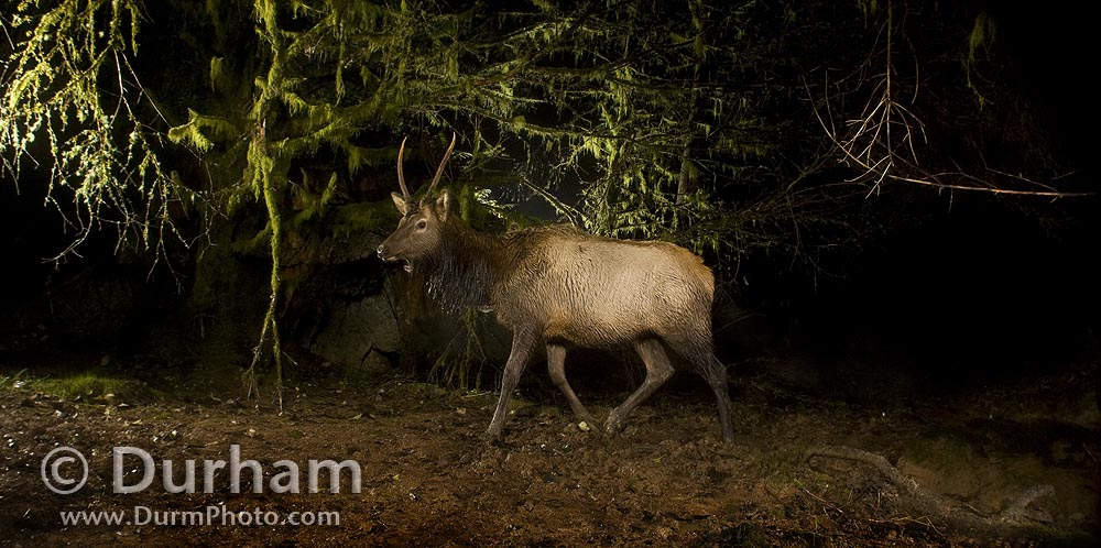 roosevelt elk at night