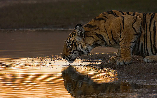 Tigre de Bengala de  Subharghya Das Mysore, India First Place, Mammals, Amateur