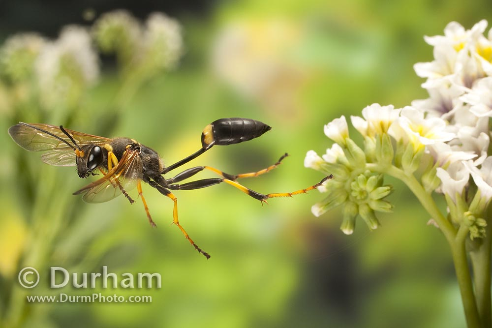 black and yellow mud dauber wasp