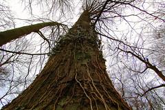 DSC_3365 gigr fa (Csaba_Bajko) Tags: tree nature forest europe hungary nikond70 wideangle mm magyarorszg arbortum alcst ultrawidezoom bajkcsaba f28quot tokinaaf1116mmf28 alcstdoboziarbortum quot1116