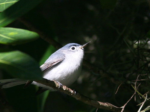Blue-gray Gnatcatcher 20100228