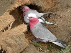 DSCN1176 (Anggelar) Tags: rose zoo fresno aviary cockatoo australasian galah chaffee rosebreastedcockatoo australasianaviary