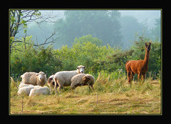 The Shepherd's Flock (Photographic Poetry) Tags: alpaca nature field llama meadow guardianangel 1001nights guardian defender defend beastofburden 1001nightsmagiccity