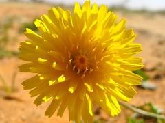 Yellow Flower (ahmedioo) Tags: flower yellow desert    saudia    addahna