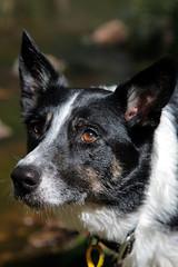 Throw the stick! (NathanaelBC) Tags: dog canon geotagged eyes bordercollie dslr polariser 400d canonef2485mmf3545usm geo:lat=35448181 geo:lon=149937517