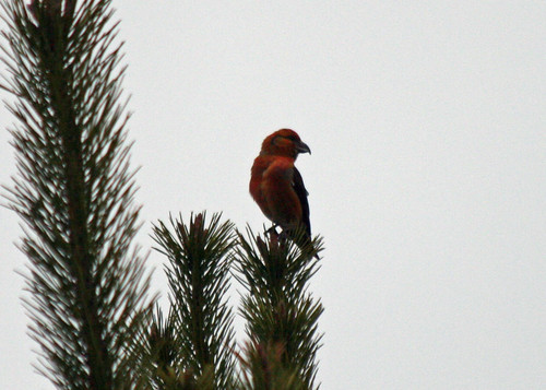 Common crossbill male