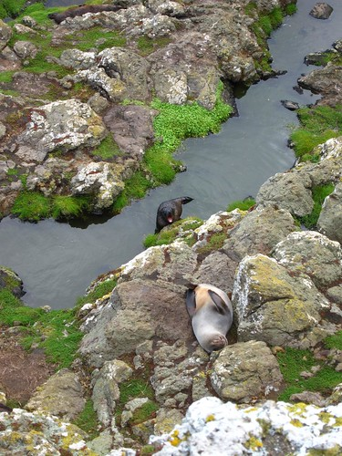 New Zealand Fur Seal and Pup