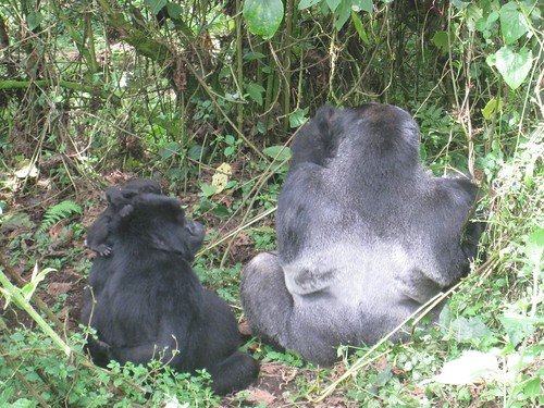 Family portrait - male silverback, mama, and baby gorillas