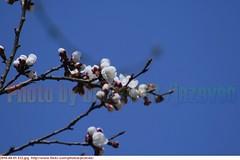 "Apricot  ""Prunus armeniaca""     prunus ""P. armeniaca""  abrikoos abricot Aprikose  albicocca  alperce   albaricoque    Aprikos  Aprikos  Aprikoosi   Cais  Aprikozes   Abrikosas        2010-04-01 032 (Badger 23 / jezevec) Tags: trees flower tree fleur forest spring indianapolis flor indiana boom rbol april apricot   blume fiore albero arbre rvore strom baum trd 2010 puno prunus bloem cais    albaricoque drzewo aprikose  albicocca    abricot abrikoos kvt aprikos vbr      aprikoosi   prunusarmeniaca   wabigon  alperce  parmeniaca badger23  abrikosas aprikozes  20100401"