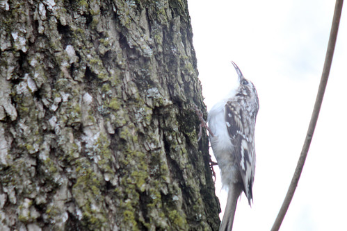 Brown Creeper (Digiscoped)