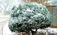 the first day of spring, Texas (spysgrandson--thanks for 2,000,000 views!) Tags: snow spring texas sony wichitafalls shrub blizzard sonycybershot thefirstdayofspring spysgrandson 032010