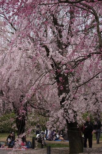 枝垂桜 Cerasus spachiana f. spachiana