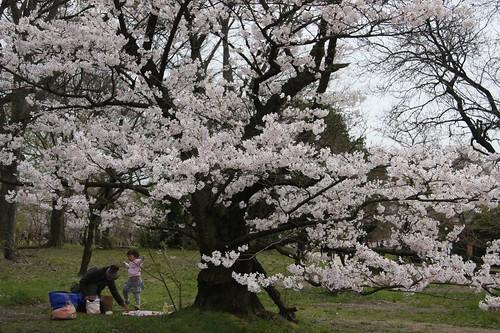 Sakura at Kyoto