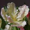Tul. (rondendikken) Tags: flower fleur flor tulip blume fiore bloem tulp parrottulip bloembol tulpenbol parkiettulp 100commentgroup