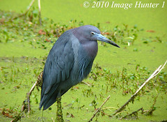 Little Blue Heron (Image Hunter 1) Tags: heron nature birds louisiana bayou swamp marsh duckweed littleblueheron lakemartin mywinners birdslouisiana cypressislandpreserve panasonicfz35 raynox2025hd22x