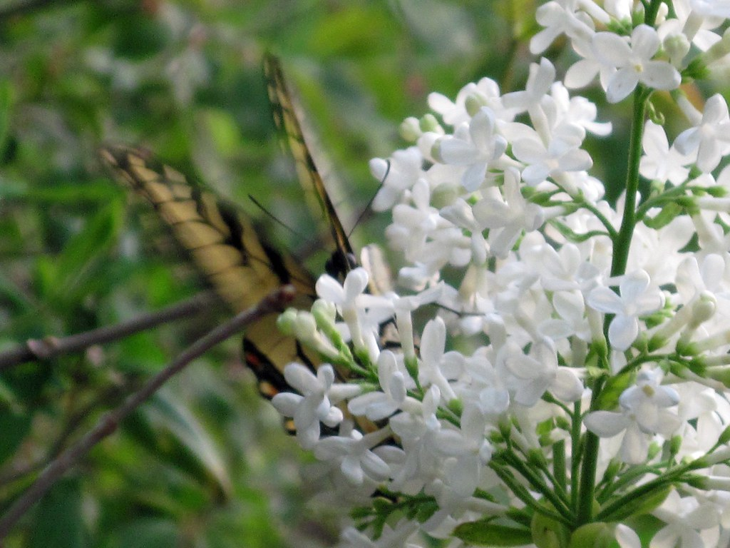 White lilac and butterfly
