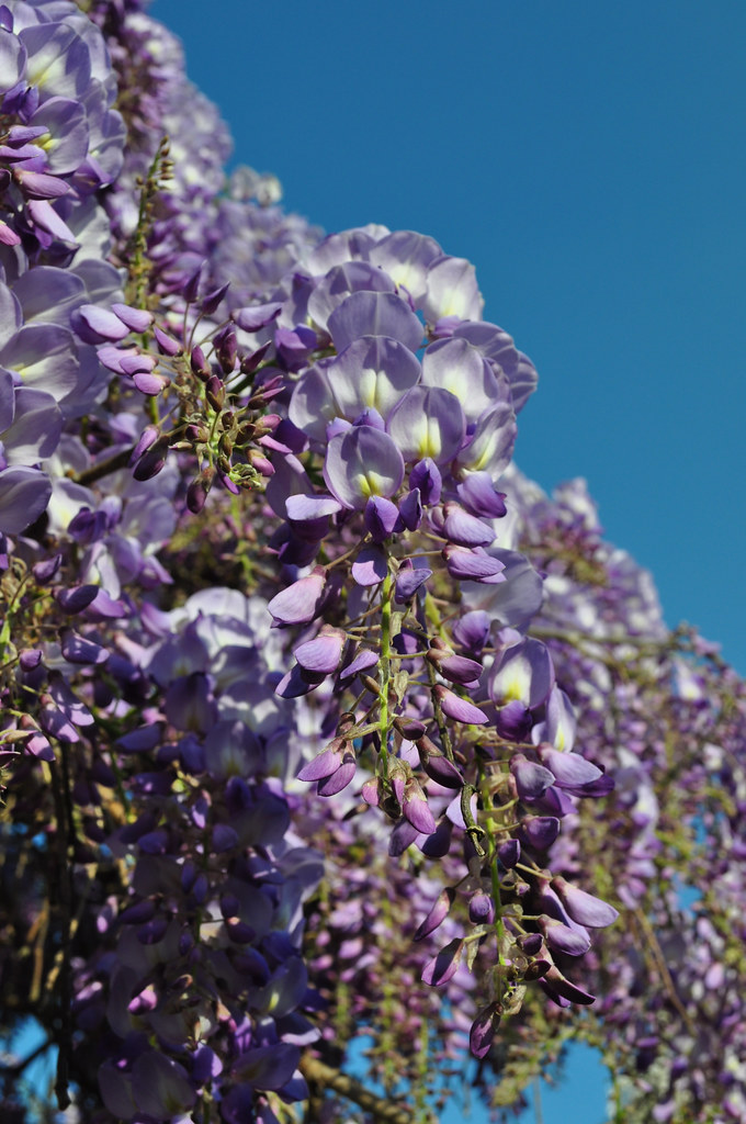 Wisteria floribunda 'Texas Purple' (5)