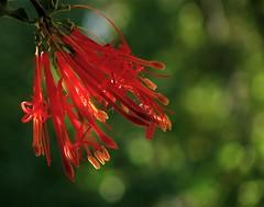 Flor de Quintral (Bystander>) Tags: chile flor wildflower quintral quitral floresdechile pintouble florasilvestredechile